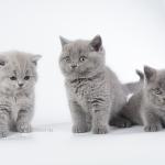 Британские котята голубого классического окраса