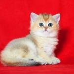 Британские котята. Красивый окрас - золотая шиншилла.