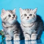 Элитные британские котята, золотой мрамор с зелеными глазами