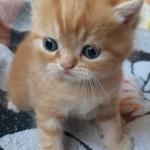 Котёнок, породы ПЕРС-экзот