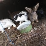 Крольчихи, кроли и крольчата