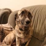 Некрупная стерилизованная собака срочно ищет дом