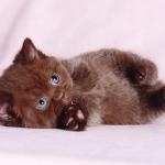 Сладкие шоколадки. Клубные британские котята - медвежата